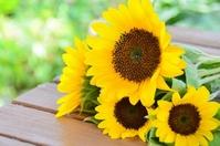 Sunflower Stock photo [2598567] Sunflower