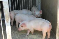 Pig Stock photo [2599479] Pig