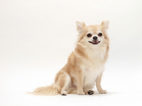 Chihuahua you laugh by Sitting Stock photo [2601557] Chihuahua