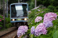 Hydrangea in full bloom blooming in line side of Enoden Stock photo [2601847] Hydrangea