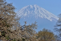 富士山と山桜