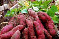 Sweet potato Stock photo [2603393] Sweet