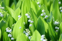 Germany lily of the valley flowers Stock photo [2603491] Germany