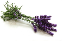 Lavender of cut flowers Stock photo [2603954] Lavender