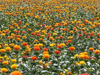 Safflower fields Stock photo [2604080] Field