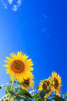 Sunflower Stock photo [2605324] Sunflower