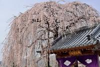 周林禅寺の雪洞桜