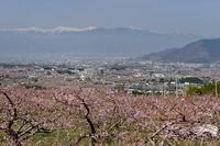 笛吹市の桃畑