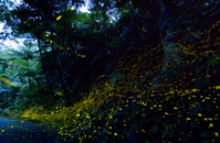 Yaeyamabotaru Stock photo [2610800] Firefly