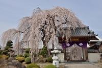 周林禅寺 雪洞桜