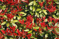 Photinia glabra Stock photo [2611827] Photinia