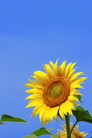Sunflower and blue sky Stock photo [2691143] Flower