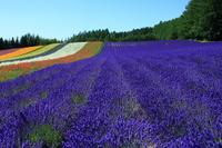 Of Farm Tomita lavender fields Stock photo [2695440] Fields