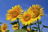Sunflower Stock photo [2696159] Sunflower