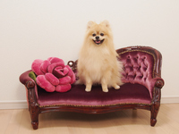 Pomeranian you smile sitting on the sofa Stock photo [2696313] Pomeranian