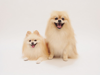 two animals of Pomeranian laugh Dogs