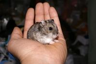 Djungarian Hamster Stock photo [78899] Djungarian