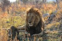 Lion Stock photo [2774783] Natural