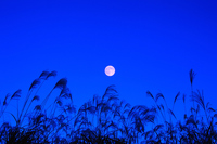 Japanese pampas grass and full moon Stock photo [2774833] Full