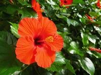 Hibiscus flowers Stock photo [2780061] Hibiscus