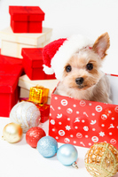 Christmas gift box and Yorkshire Terrier Stock photo [2782869] Yorkshire