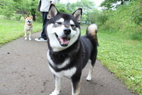 Happy dog Stock photo [2862123] Shiba