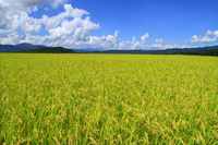 Paddy Stock photo [2863697] Rice