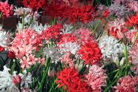Diamond Lily Stock photo [2864011] Nerine