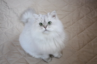 Chinchilla Silver (white cat) Stock photo [2864553] CAT