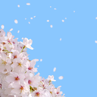 The cherry blossoms in spring blue sky [2866503] Spring