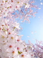The cherry blossoms in spring blue sky [2866512] Spring