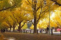 Yellow leaves of ginkgo tree-lined Jingu Gaien Street Stock photo [2868651] Ginkgo
