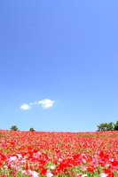 Hill of red poppy Stock photo [2871786] Poppy