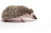 Hedgehog Hedgehog
