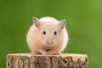 Kinkuma hamster Stock photo [3028414] Cute