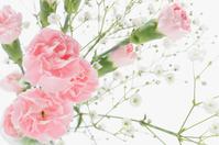Pink Carnation Stock photo [3028422] Carnation