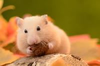 Kinkuma hamster eating a walnut Stock photo [3029874] Ghost