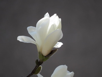 Yulan magnolia Stock photo [3030355] Yulan