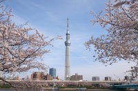 東京スカイツリーと隅田川の桜