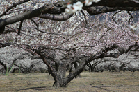 Plum of a big tree and plum blossoms Stock photo [3037139] Plum