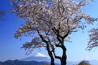 Cherry blossoms in full bloom and Mount Fuji Stock photo [3113713] Mt.