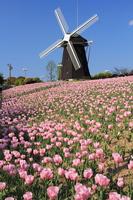 Tsurumi Ryokuchi windmill and pink tulips Stock photo [3113857] Tsurumi