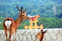 宮島大鳥居と鹿