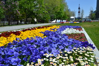 Pansy Garden of Odori Park Stock photo [3117576] Pansy