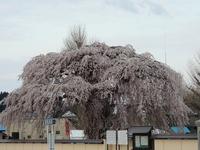 Weeping cherry Hokametera Stock photo [3121615] Hokkaido