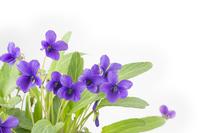 Violet flowers Stock photo [3121840] Sumire