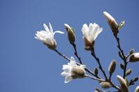 White Himekobushi of flowers and spring blue sky Stock photo [3122850] Himekobushi