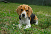 Beagle Stock photo [3210745] Beagle