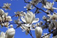 Magnolia Stock photo [3214942] Magnolia