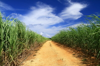 Sugarcane field Stock photo [3215148] Sugar